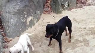 Rottweiler bulterer Ротвейлер бультерьер   YouTube