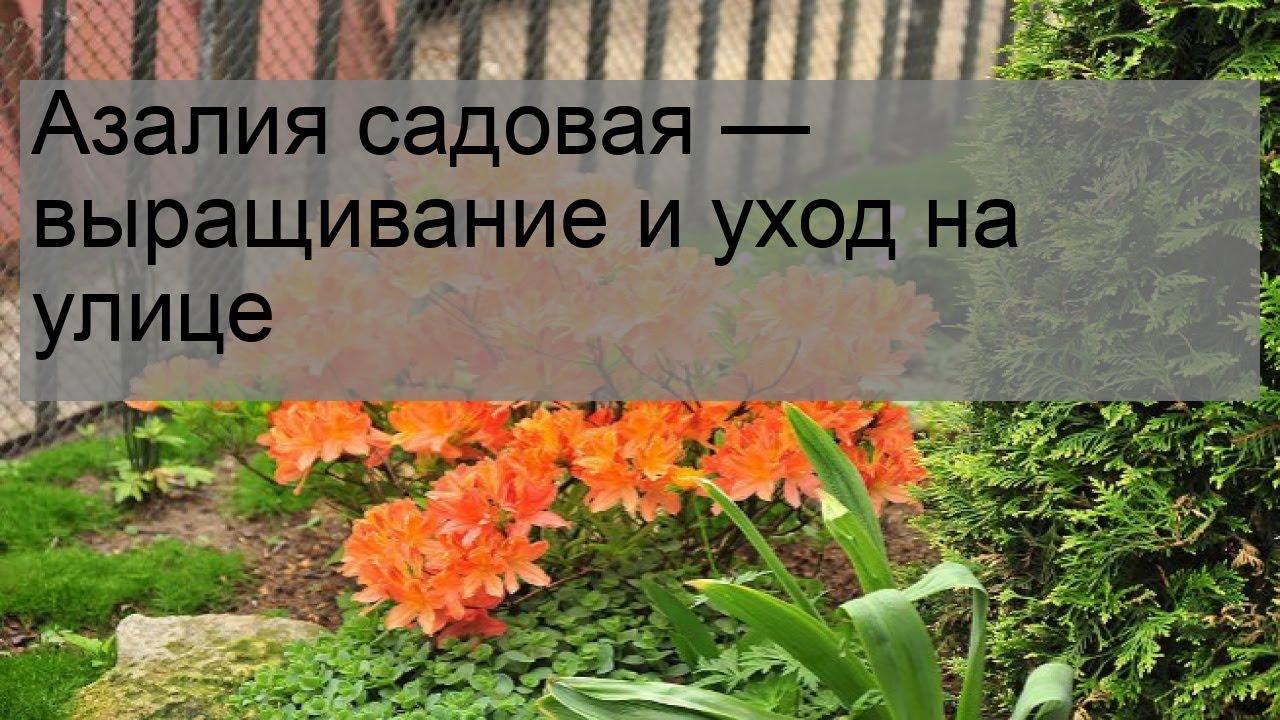 Азалия садовая — выращивание и уход на улице - YouTube
