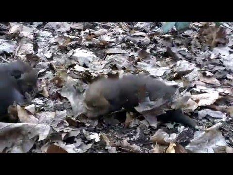 Fox cubs (~2-3 weeks old)