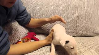 Oregon Bull Terriers Puppies At 5 Weeks Old