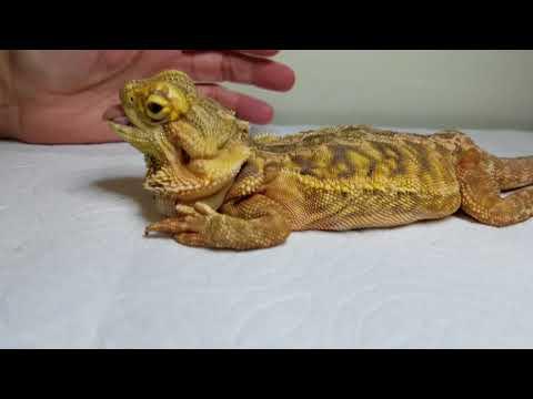 Metabolic bone disease bearded dragon