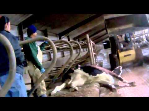 Animal Abuse in Factory Farms