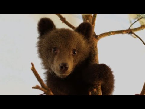 Bulgarian bears prepare for reintegration in Greece