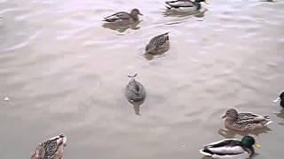 Серая утка, самец - Солнцевский пруд, 18.01.2015