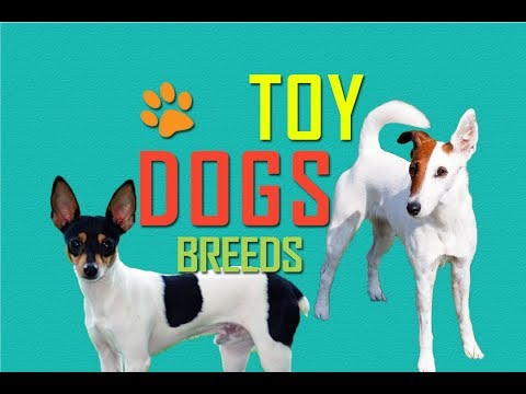 Toy Dogs | Toy Dog Breeds | Most Loved Dogs | Happy Dogs | Friendly dogs | Pets