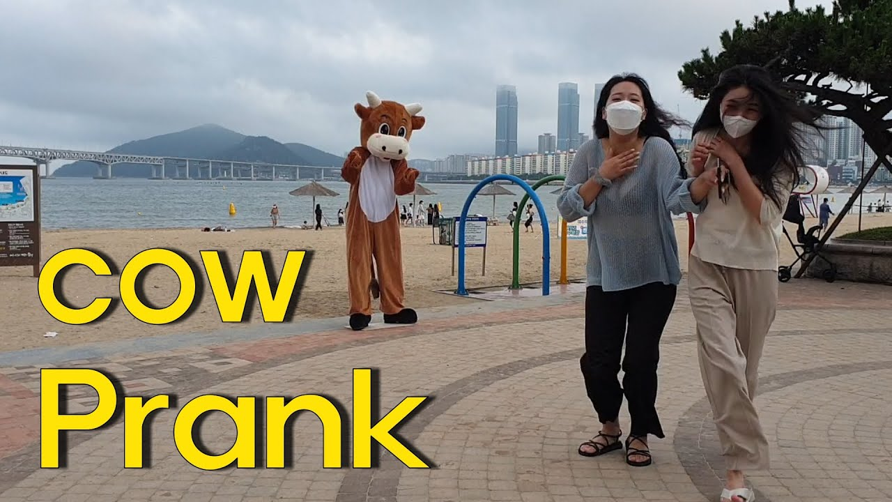 """Cow Prank """"Police dispatched"""" in south Korea(송아지)"""