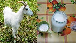 Делаем супер закваску и кефир 🥛 из любого 🐐 молока за 24 часа! Goat yogurt.