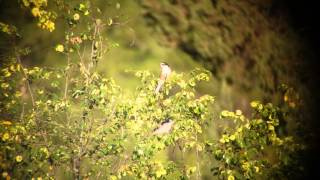 Video Masked Shrike - Lanius nubicus - Akseki 06-07-2015 download MP3, 3GP, MP4, WEBM, AVI, FLV Juli 2018
