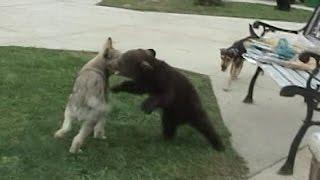 WOLF pup & BEAR cub Playing -  © Denmortube