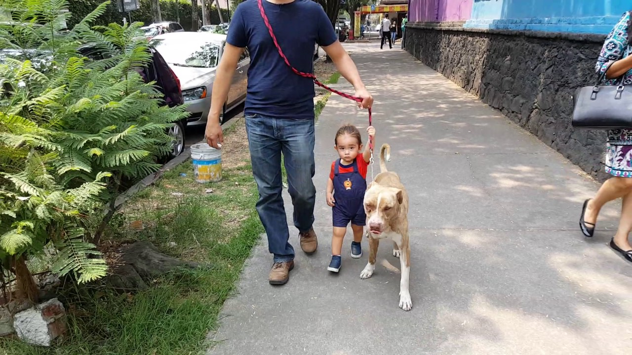 Toddler pasea a Pitbull👦🐕