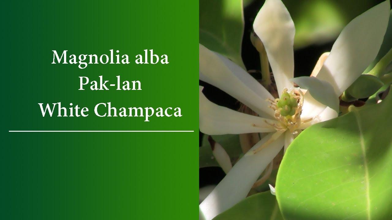 Magnolia Alba The Paklan White Champaca White Jade Orchid Tree