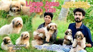 Shih Tzu    Lhasa Apso    നല്ല ക്യൂട്ട്  പപ്പീസിനെ വാങ്ങാം   Dog kennel kerala    Dog Farming    dog