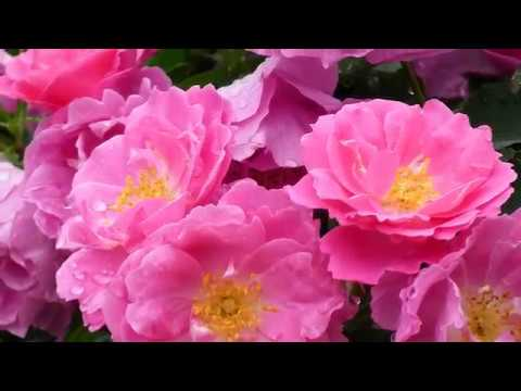 4K Most beautiful rose flowers, flower shrubs and colorful garden that you might not seen