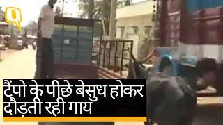 गाय और बछड़े का ये ममता भरा वीडियो आपकी आंखें नम कर देगा | Quint Hindi