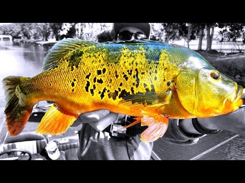Miami Canal Hopping For HUGE Peacock Bass!