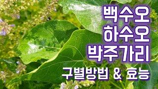 백수오와 하수오 박주가리를 잎 모먕으로 구별하는 방법과…
