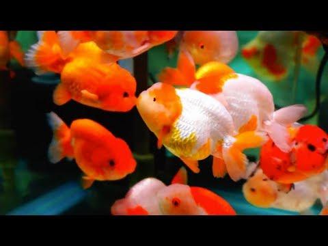 Ikan Hias Mas Koki Si Hewan Pembawa Hoki yang Lucu