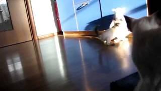 Сиамские котята развлекаются
