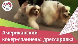 видео Дрессировка спаниеля, воспитание американского кокер спаниеля