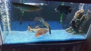 feeding my oscar arowana flowerhorn arapaima redtailcatfish aligatorgar