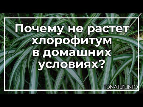 Почему не растет хлорофитум в домашних условиях? | toNature.Info