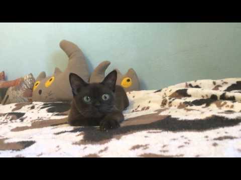 European Burmese kitten ❤️