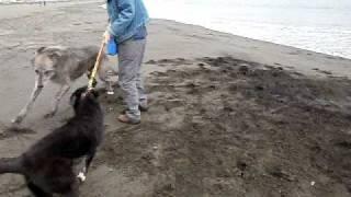 アイリッシュウルフハウンドのお友達ワンコと遊びました。