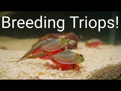 How To BREED Triops And Collect EGGS!