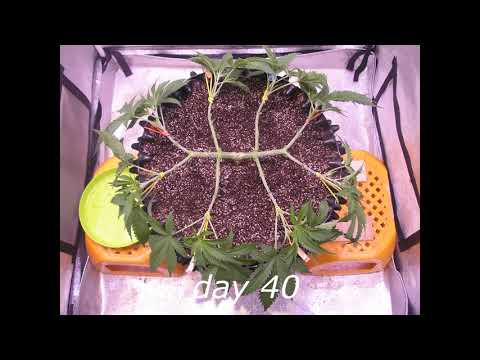 GreenGelato by RQS (from seed to harvest short film)