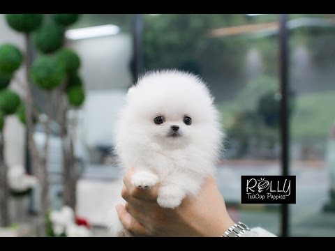White Fluffy Cute Little Pomeranian :D !! Buzz - Rolly Teacup Puppies