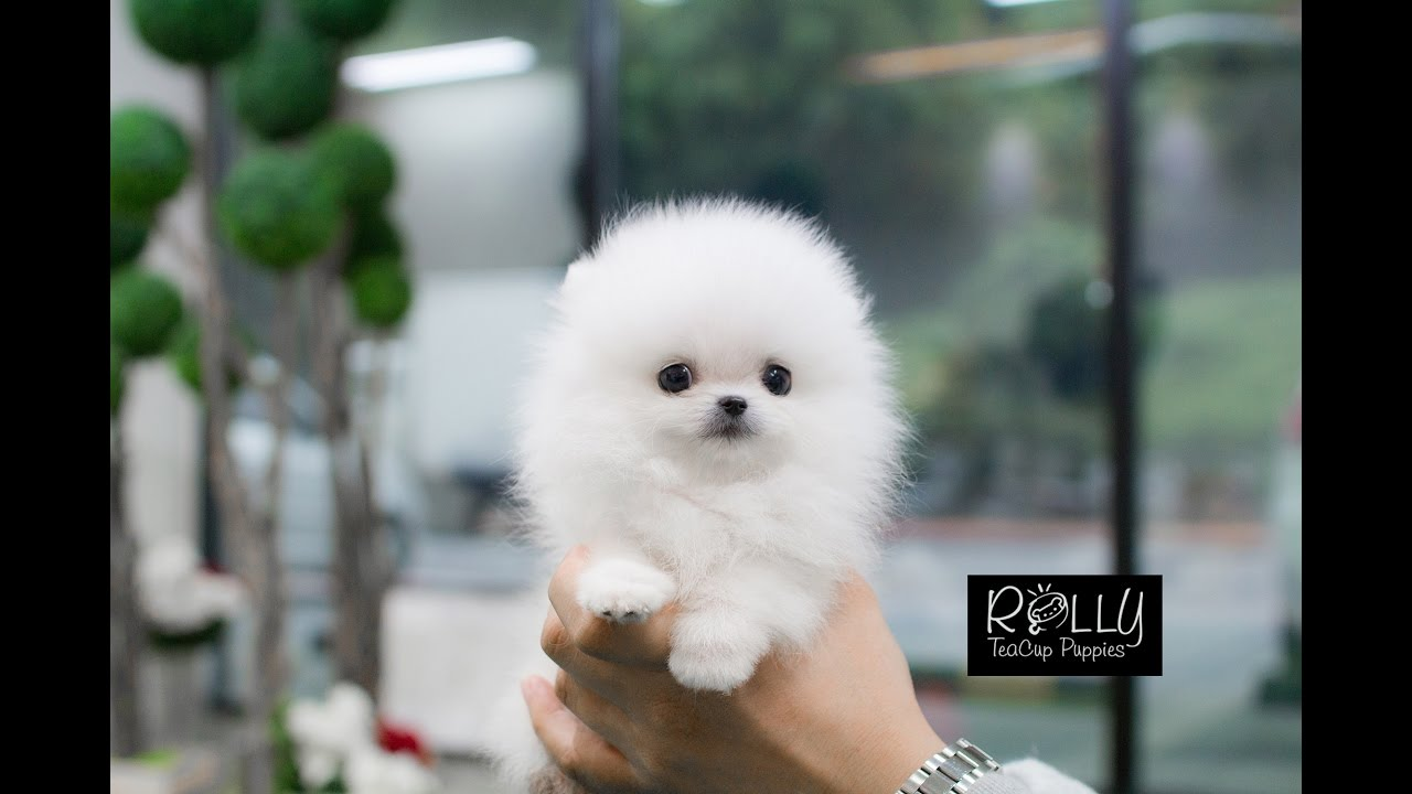 White Fluffy Cute Little Pomeranian D Buzz Rolly Teacup