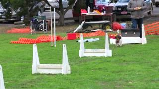 Altona Arrows Flyball Fun At Altona Dog Obedience Club Melbourne