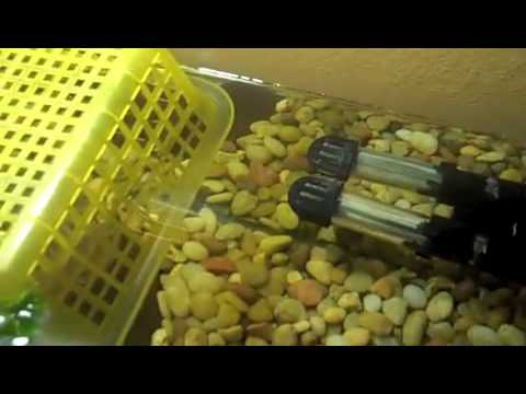 Baby Turtle Care (Aquatic Turtles) - YouTube