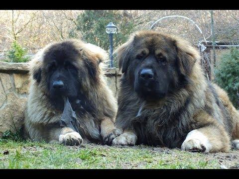 rgpsztora caucasian dogs (Mirk, Boni, Matyi) - happy days