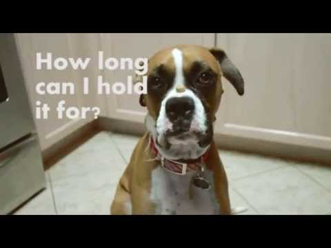 Dog holds it before eating a treat :: Funny boxer Torta The Dog