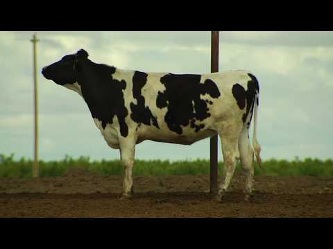 See How Our Comfy Cows Live on Real California Dairy Farms