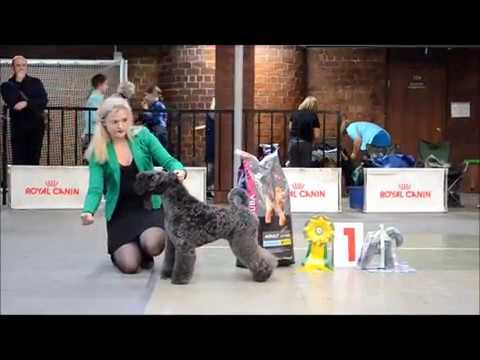Kerry Blue Terrier - Speciality Show, 17 November 2018, Ekaterinburg