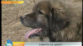 Законодательные нормы мешают спасти умирающих на цепи собак в одном из иркутских микрорайонов