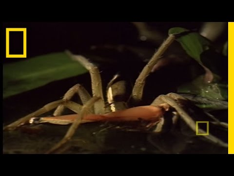 Fishing Spider Eats Frogs | National Geographic