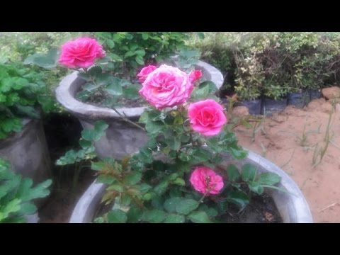 How To Care Button Rose Plants Hindi Youtube