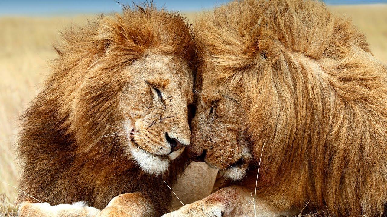 ლომები - საინტერესო ფაქტები ლომებზე