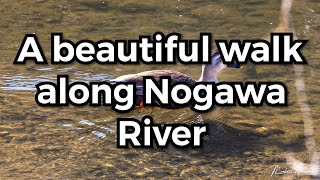 A peaceful walk down Nogawa river
