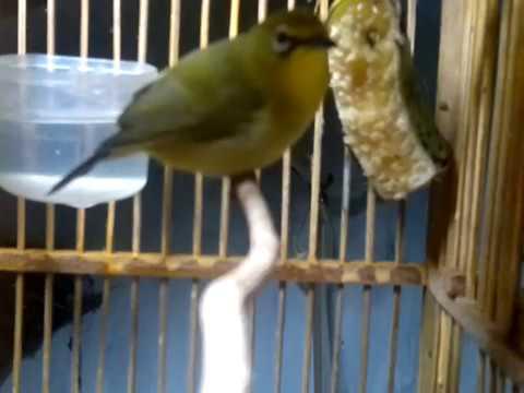 pleci isian variasi cucak ijo kolibri dan kacer