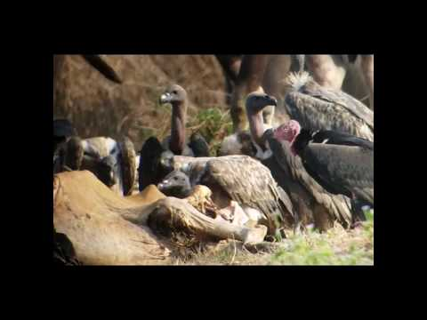 The three Vulture species at Vulture Restaurant at (Preah Vihear)- Ladong bird guide at SVC