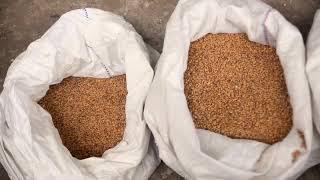 Очистка и калибровка пшеницы ворохоочистителем АСМ-5