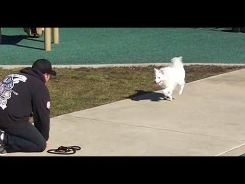 Best Dog Training in Columbus, Ohio! 2 Year Old American Eskimo mix, Addie!