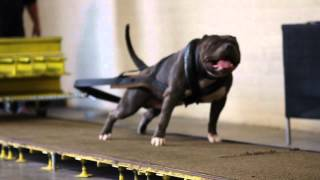 Pitbull Weight Pulling Show