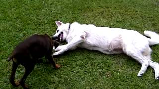 White German Shepherd, And Doberman Pinscher Pup Playing
