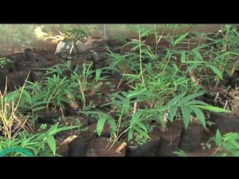 Emerging trend of bamboo farming
