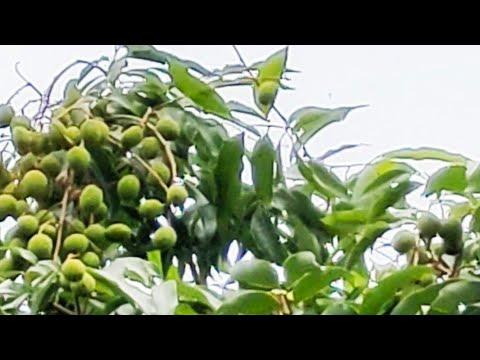 #Biglycheetree#Bagichakhwahishoka Big Lychee tree